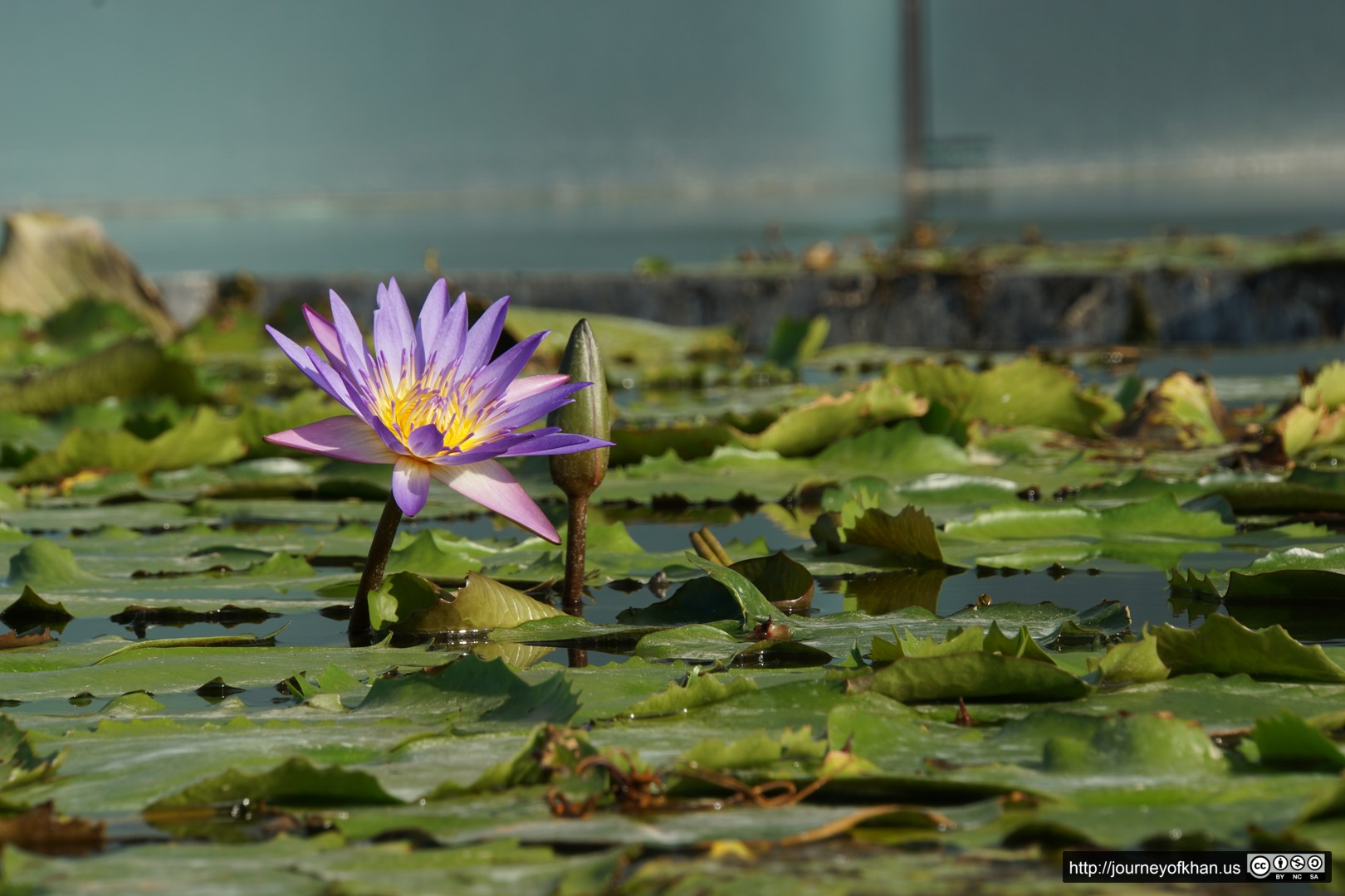 Purple in a Pond